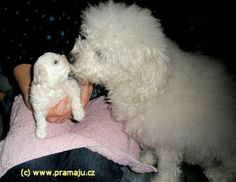 Cindy 12/2011c - Bichon Bolognese / Boloňský psík Bichon Bolognese, Dog Lady, Little Dogs, Animals, Little Puppies, Animales, Animaux, Animal, Animais