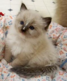 seal mitted ragdoll kitten with blaze