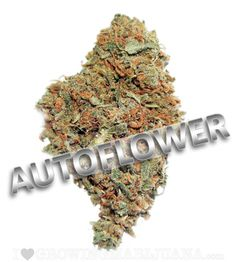 smokethesativa:  sensationelis:  Autoflowering Marijuana Seeds  FoLLoW ThE sAtIVa