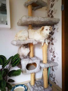 キャットタワーに居座る…「猫」だと思い込んでいる犬 - ライブドアニュース http://news.livedoor.com/article/detail/12917963/
