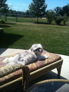 Sunning myself Cute Little Dogs, Big Dogs, Large Dogs, Cute Dogs, Dogs And Puppies, Doggies, Maltese Shih Tzu, Shih Tzu Puppy, Shih Tzus
