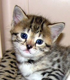 Top 10 Most Beautiful Cats | Top 10 Most Beautiful Cat Breeds https://www.facebook.com/CatsRPeopleToo