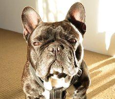 'Oscar' the French Bulldog. Cute Creatures, Beautiful Creatures, Animals Beautiful, Cute Little Animals, Little Dogs, I Love Dogs, Puppy Love, Cute Puppies, Cute Dogs