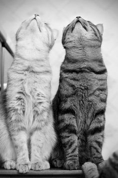 Cats, black and white, furry, fluffy, looking up, pose, cute, kitties