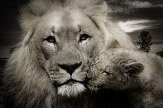 Lion, Leijonanpentu, Nuorten Eläinten