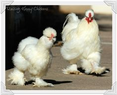 Silkie chickens : why they're the teddy bear of the poultry ...