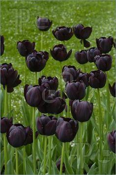Queen of the night tulips-my fav