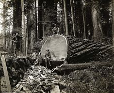 Pictures from the 1915-era display the work of loggers in the densely forested northern California area - Lumberjacks working among the redwoods in Humboldt County, California - By Swedish photographer A.W. Ericson, 1880-1920 Humboldt State University Library Special Collections