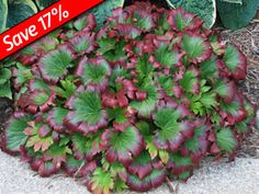 Mukdenia Crimson Fans is a shade ground cover that changes color every season!