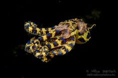 Blue Ringed Octopus Facts and Underwater Photos|Underwater Photography Guide