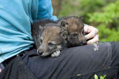 Grey Wolf Pups at Norway's Dyreparken.
