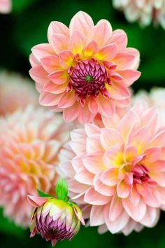 Flowers Nature, Exotic Flowers, Flowers In Hair, Pretty Flowers, Most Beautiful Flowers, Ikebana, Flower Garden Design, Dahlia Flower, Garden Pictures