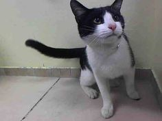 TO BE DESTROYED 7/26/14 ** ISN'T MOLLY ADORABLE?! Molly interacts with the Assessor, solicits attention, is easy to handle and tolerates all petting. ** Brooklyn Center  My name is MOLLY. My Animal ID # is A1006469. I am a female black and white domestic sh mix. The shelter thinks I am about 1 YEAR  I came in the shelter as a STRAY on 07/12/2014 from NY 11226,