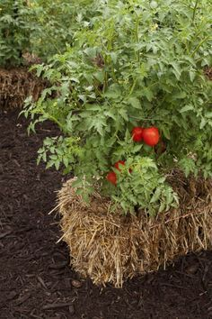 Tomato plants flourish in straw bales, and no weeds or weeding!