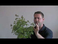 How to Bonsai - Reduce Leaf Size - YouTube