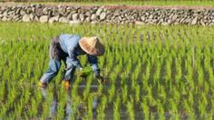 Rice paddies are a significant source of methane