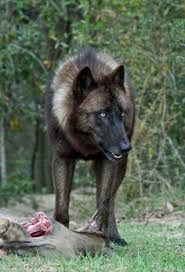 Image result for beautiful wolves