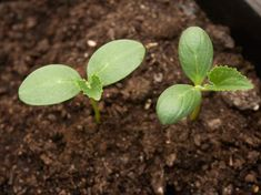 Termeljük meg a fogyasztásra szánt uborkát! Néhány jó tanács a házikerti termesztéshez.