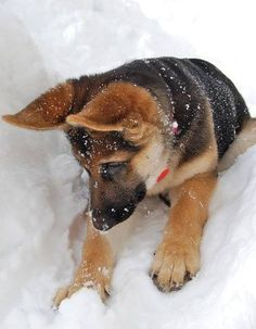 #GSD #pup playing in the snow