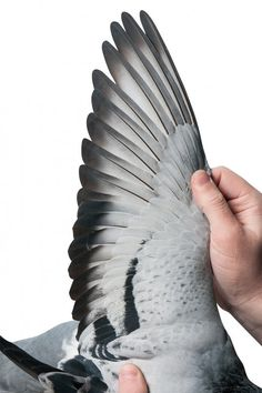 a racing pigeon named bolt officially became the most expensive