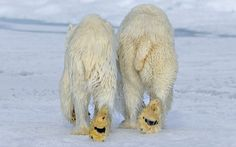 andy rouse two polar bears walking togethr in svalbard norway