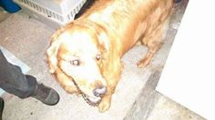 Posted 8/31/2014 Found: Dillsburg, PA (Monaghan Township, York County) - male golden retriever  Found male Golden Retriever wearing black collar on East Siddonsburg Road Monaghan Township. No tags. No chip. Call 717-654-8841 posted by aco Mary Harris original post - https://www.facebook.com/photo.php?fbid=10204601280491316&set=o.356873930995514&type=1&theater — with Mary Harris. LikeLike ·  · Share · 9 hrs