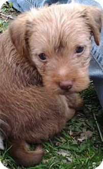 Southern, NH - Yorkie, Yorkshire Terrier/Chihuahua Mix. Meet Scruff a Puppy for Adoption.