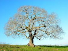John's buckeye tree
