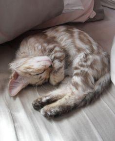 Bengal kitten named Elsa