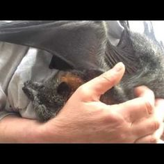 Cinder the Bat Loves to Cuddle While Getting Her Back Scratched