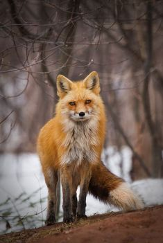 Vixen Fox by bkcrossman - World Photography Day Photo Contest 2018 Cute Baby Animals, Animals And Pets, Wild Animals, Strange Animals, Beautiful Creatures, Animals Beautiful, Vixen Fox, Fuchs Baby, Friendly Fox