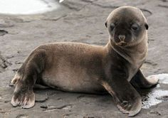 It's a baby seal. It's a baby seal that loves you. Cute Baby Animals, Animals And Pets, Funny Animals, Beautiful Creatures, Animals Beautiful, Baby Seal, Seal Pup, Fauna, My Animal