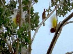 the dotty and mesmerising world of the Birds of Paradise, enjoy :)