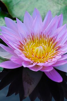 Water-Lily [Nymphaea] - Flickr - Photo Sharing!