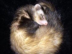 Ethel ferret sleeping