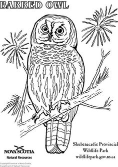 barred owl templates for paper mache Bird Coloring Pages, Free Coloring Sheets, Adult Coloring Pages, Coloring Books, Owl Templates, Applique Templates, Applique Patterns, Butterfly Template, Crown Template