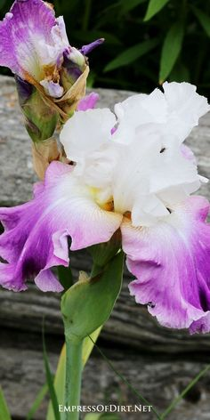 What a lovely, frilly iris! See the entire Gallery of Irises to get ideas for your garden