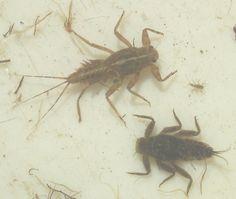 Introduction to the Mayfly family Ephemerellidae  Crawler Mayflies, Spiny Crawler Mayflies
