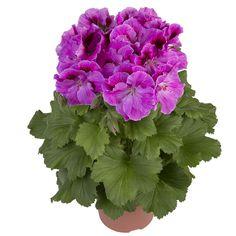 Nicolette #franse #geranium #edelgeranie #regal #pelargonium #garden #spring #plants #flowers