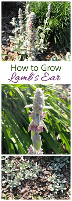 Try growing lamb's ear in your garden. This plant is a variety of perennial herb with fuzzy green leaves and pretty pure purple flowers on long stalks. It is easy to grow and makes a great ground cover.