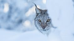 The stare - Eurasian Lynx peeking out from a snow covered bush