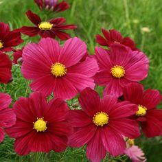 Cosmos Rubenza: ses grandes fleurs se marient bien (tout en contraste) avec des fleurs blanches ou jaunes voisines.