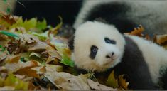 The trailer for the next Disneynature film is here. Watch the brand new trailer for ‪#‎BornInChina‬!