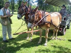 Westminster Maryland Online: Kevin Dayhoff interviews mules Gus & Ned Union Mills Corbit's Charge Gettysburg http://kevindayhoffwestgov-net.blogspot.com/2013/06/kevin-dayhoff-interviews-mules-gus-ned.html