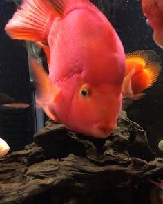 Tropical Fish Aquarium, Freshwater Aquarium Fish, Parrot Fish, Live Fish Wallpaper, Unique Fish Tanks, Fish Aquarium Decorations, Fish Tank Design, Saltwater Fish Tanks, Wild Animals Pictures