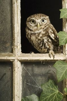 Little Owl (Athene noctua), by Andy Sands                                                                                                                                                                                 More