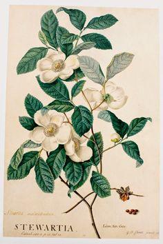 Vintage Illustration botanical prints, especially fruit - Botanical Tattoo, Botanical Drawings, Botanical Flowers, Botanical Art, Vintage Botanical Prints, Plant Drawing, Wow Art, Alphonse Mucha, Plant Illustration
