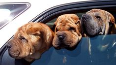 Three dogs all in a row #pets #dogs #Toyota