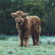 soul-wanderer:  Highland Cows by livingitrural