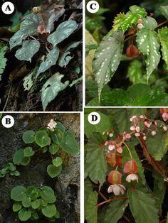 A, Begonia nigritarum; B, Begonia trichochila; C-D, Begonia leucosticta